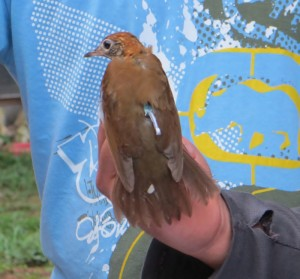 A Woodthrush with a new geolocator.