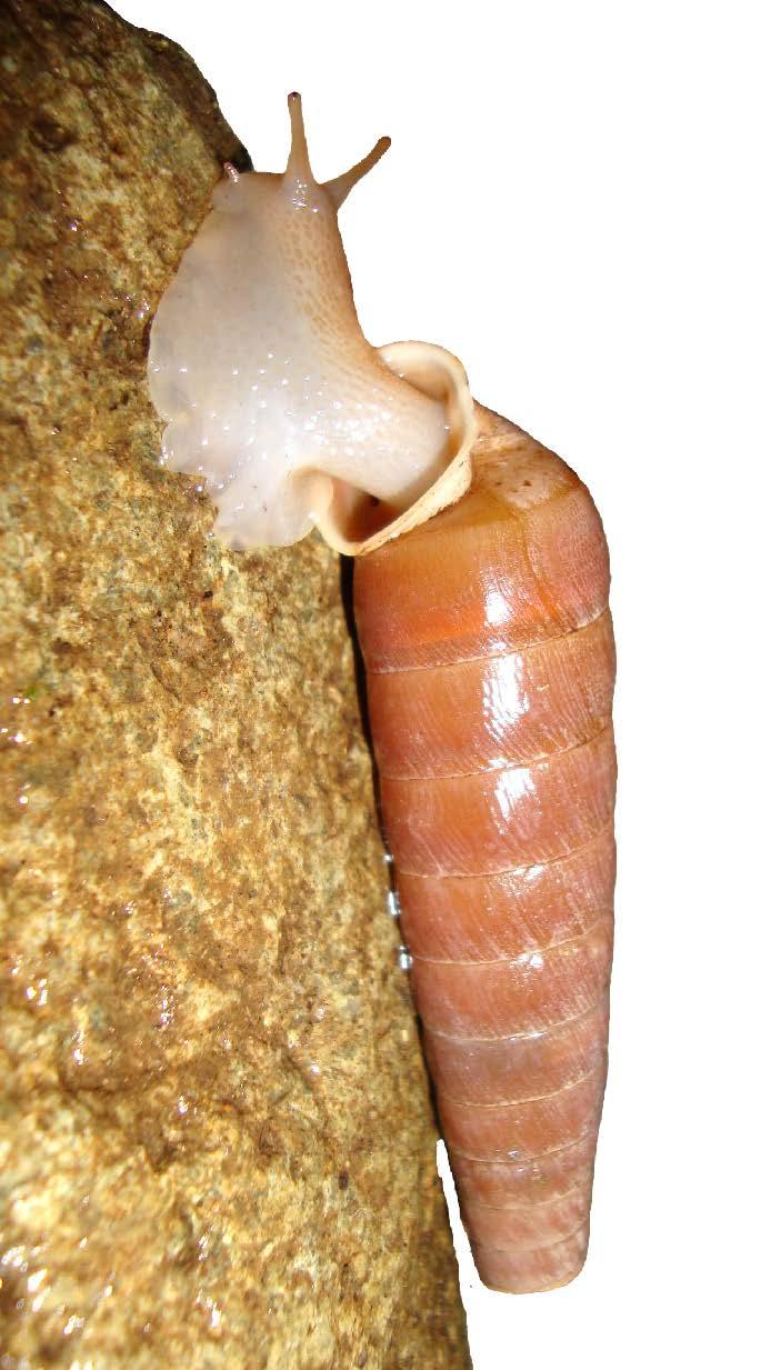 maya drum snail 2