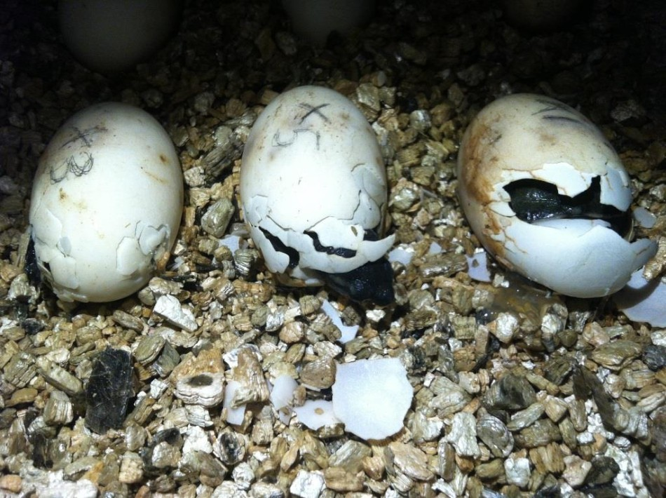 Seven eggs successfully hatched between June 14 and June 18.