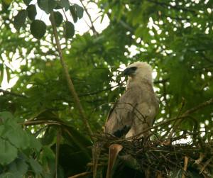 Juvenile harpy eagle - Photo by Kai Reed