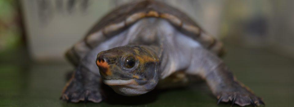 hicatee turtle slider