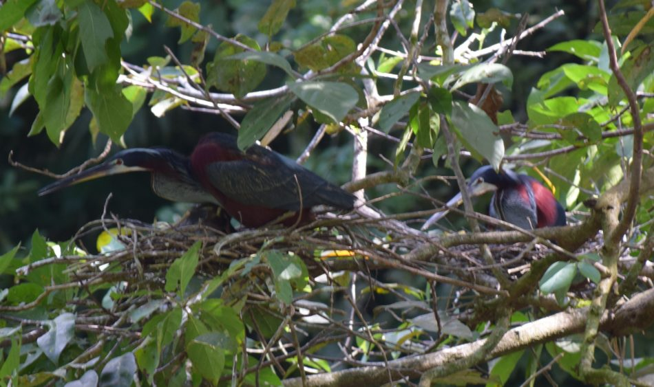 9 nests with adult Agami Herons were identified in September 2016. 5 fledglings and 4 eggs were also observed.