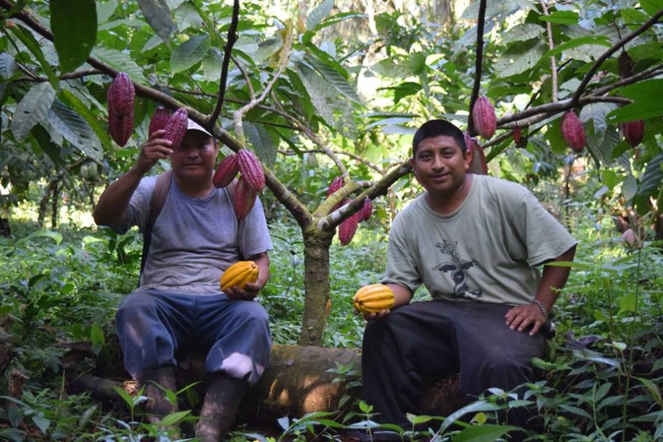 cacao agroforest