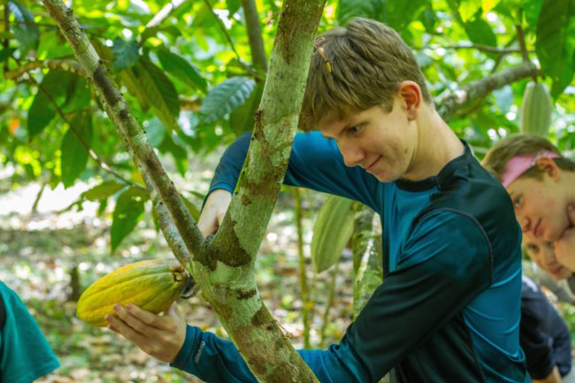 removing a cacao pod from the tree