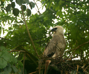 Juvenile Harpy Eagle spotted on the nest during a routine monitoring expedition in 2013. Photo by Kai Reed.