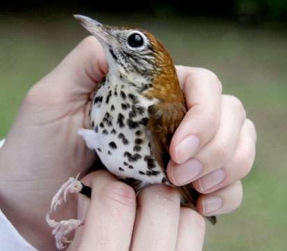 woodthrush-kf