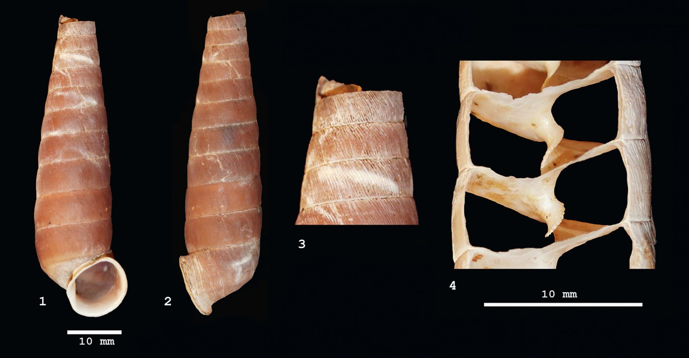 maya drum snail shell