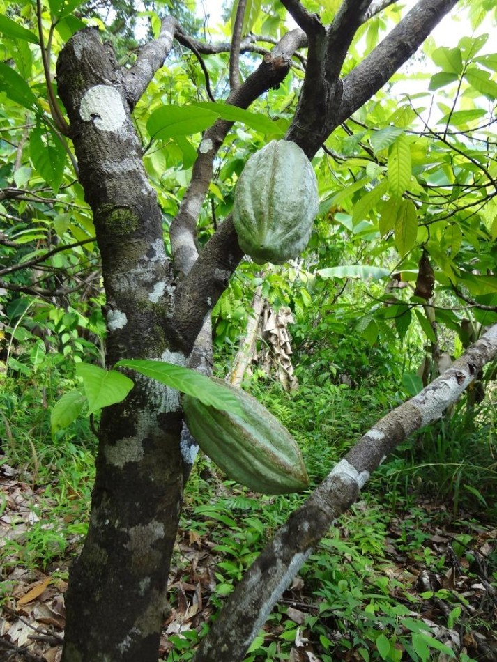 Cacao grows under the shade of the forest at BFREE.