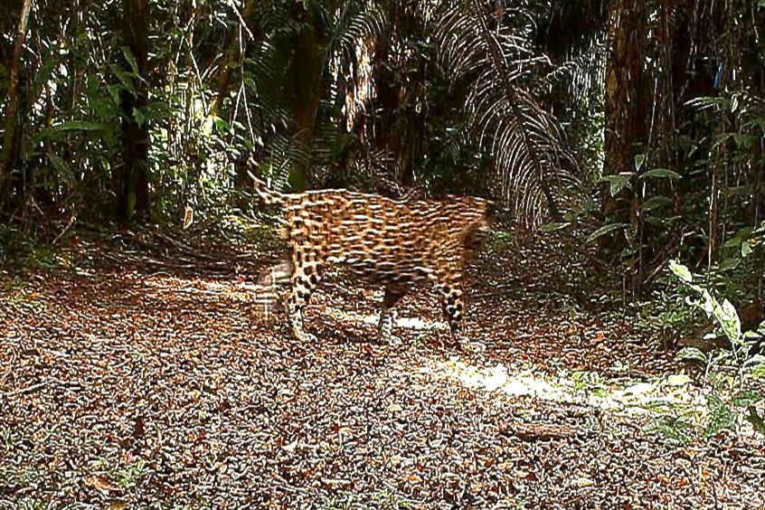 Jaguar was caught on camera during one of Dr. Skeate's field courses.