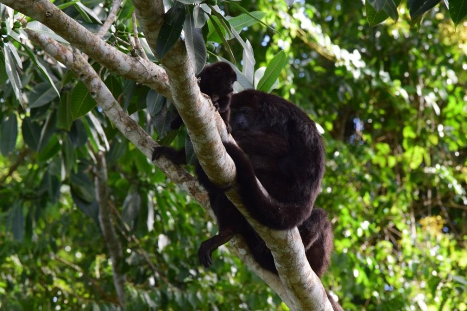 A troop of howler monkeys was recently photographed from the observation tower.