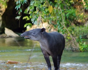 Tapir photographed in the Bladen River by James Abbott