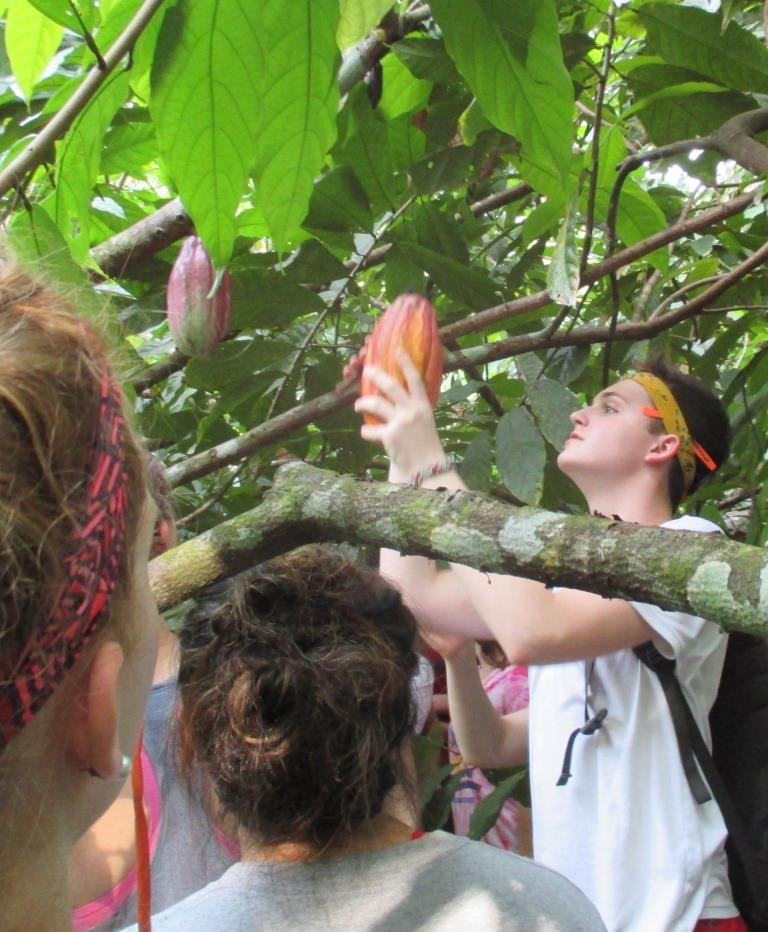 Keene students help harvest cacao pods.