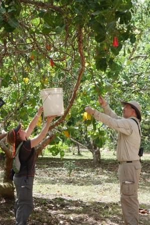 Lakeland harvests cashew fruits during a tour of the BFREE garden and orchard.