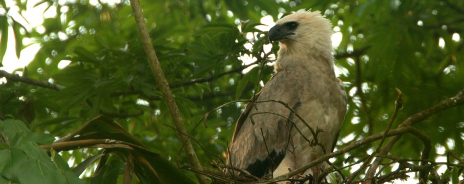 """Wings of Hope,"" a documentary film on Harpy Eagles in Belize, will be included in the Wildlife Vaasa Film Festival in Finland later this year."