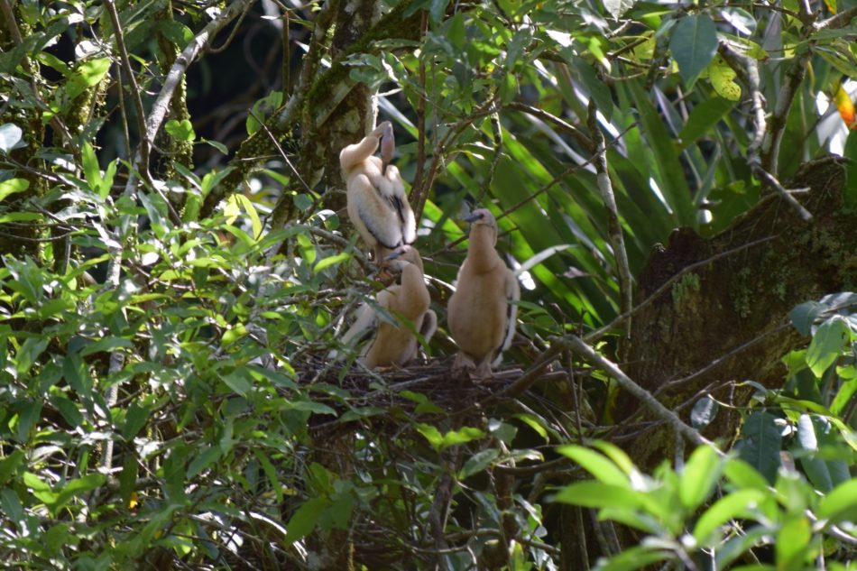 Juvenile Anhingas in a nest near 9 nests of Agami Herons in September 2016